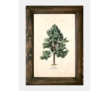 Obraz na drewnie Daglezja zielona